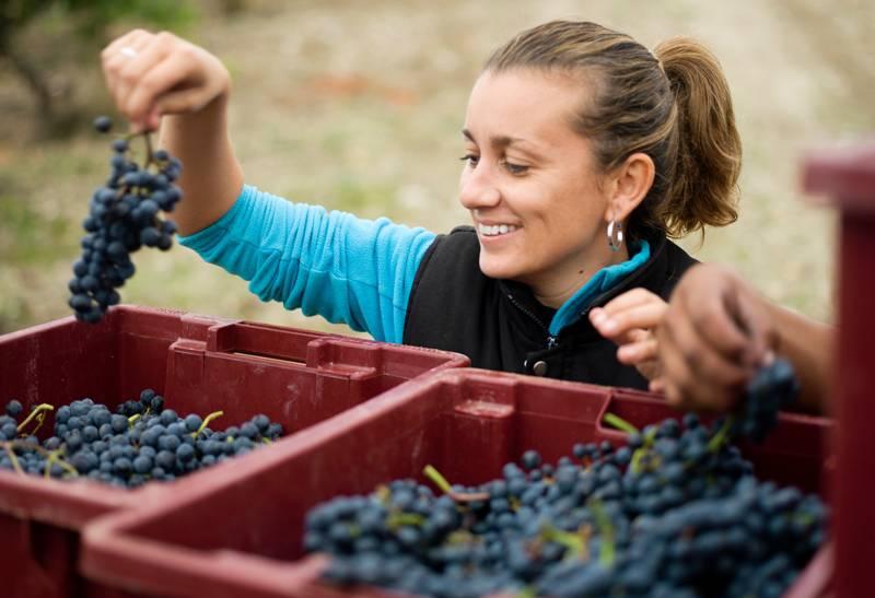 Weinernte Weingut Vega Clara