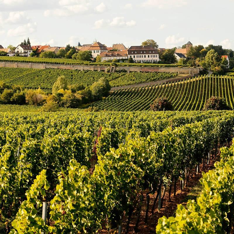 Weinstock Weingut Petri